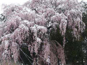 P1000166しだれ桜