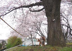 P1000204桜の木1