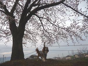 P1000203桜の木2