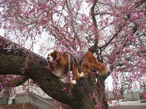 P1000212しだれ桜