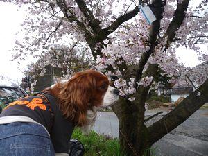 ショコラ 005堤防桜3