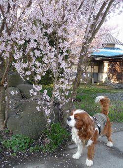 P1000261桜1