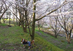 P1000282千本桜