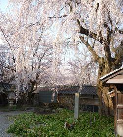 P1000286しだれ桜1