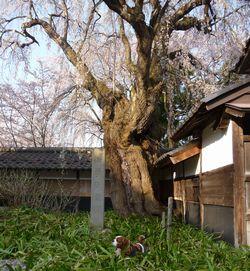 P1000287しだれ桜3