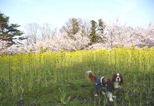 P1000291菜の花・桜