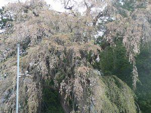 P1000316葉桜