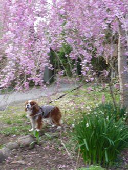 P1000318平成しだれ桜