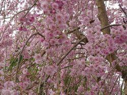 P1000319平成しだれ桜