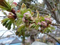 P1000317うこん桜