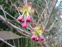 P1000322桜アケボノ