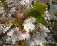 P1000361葉桜