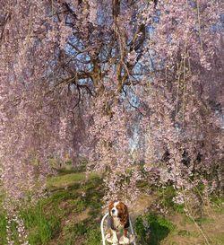 P1000393しだれ桜