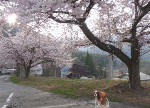 P1000396桜並木