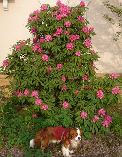 P1000431石楠花