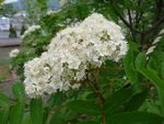 P1000512白花