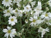 P1000540白花
