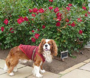 P1000824赤薔薇