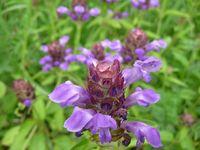 P1010192紫花