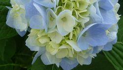 P1010350紫陽花