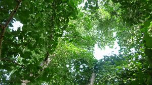 P1010410銀杏の木