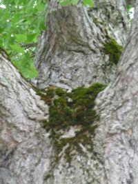 P1010914銀杏の木