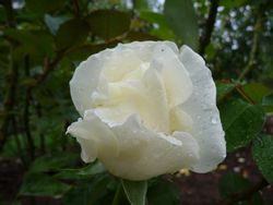 P1020557白バラ