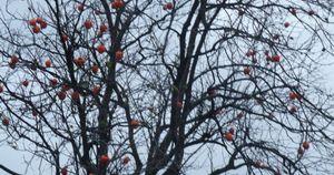 P1030169柿木