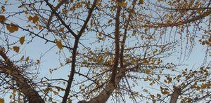 P1030192銀杏の枝