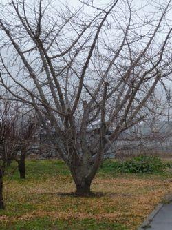 P1030377銀杏の木