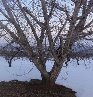 画像 005銀杏の木2