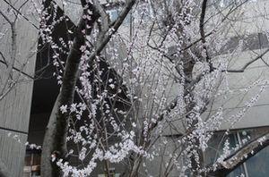 画像 028桜1