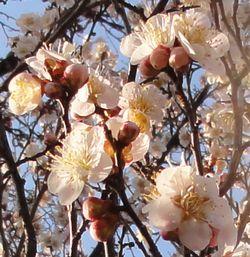 画像 030梅の花