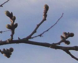 画像 031桜つぼみ