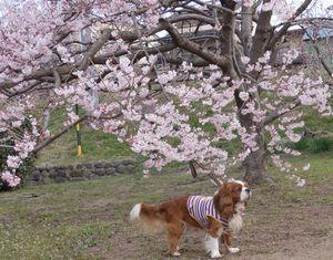 画像 042桜3