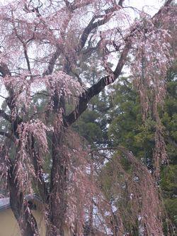 画像 038しだれ桜