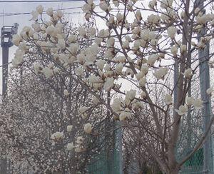 画像 039こぶしの花