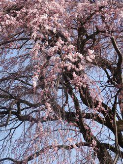 画像 039しだれ桜