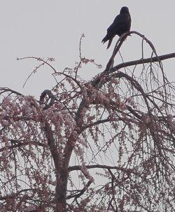 画像 040しだれ桜