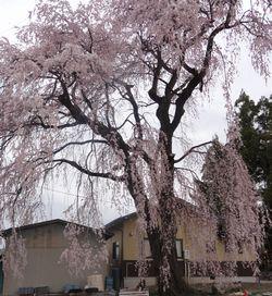 画像 045しだれ桜1