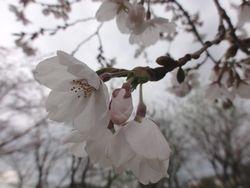 画像 044桜