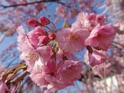 画像 072桜