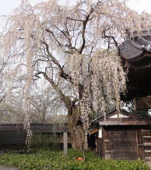 画像 055寺しだれ桜