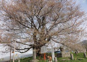 画像 065千歳桜