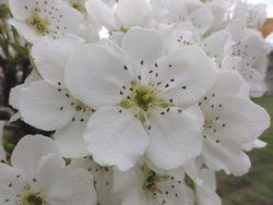 画像 056梨の花