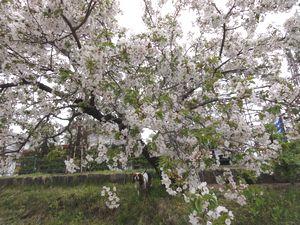 画像 062桜