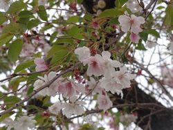 画像 064兼六園桜