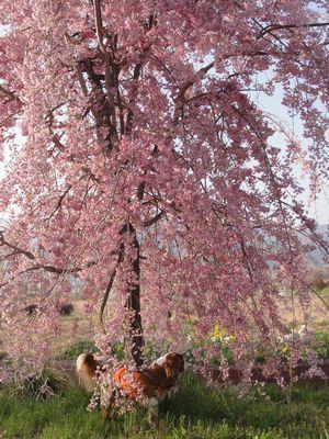画像 057しだれ桜