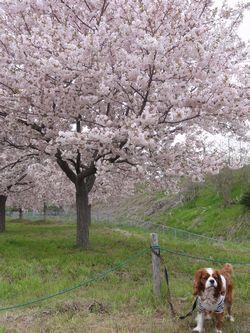 画像 057桜
