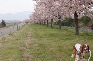 画像 062桜並木
